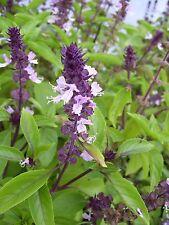 350 Semillas de Albahaca Cannelle Planta Hierbas Aromática