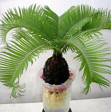 Bonsai Cycas flower seeds Cycas in the garden Flower for home Plant for home