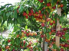 3 x fruit TREES;Pear tree,Plum tree + Apple tree,ideal for patio fruit / gift