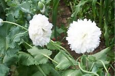 Peony Poppy- White Cloud- 100 Seeds - 50 % off sale