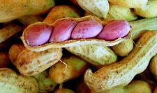 Seeds Of  Jumbo Virginia Peanuts  Untreated Seeds Organic,50 Seeds