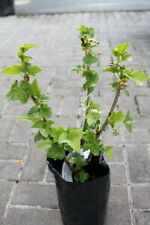 Soft Fruit Plants-Blackcurrant Bush 'Ben Connan'-  Well Established Plant