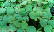 5 Red root floaters easy floating aquarium plant easy tropical fish pond
