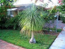 Ponytail or Elephants Foot Seed - Indoor/Outdoor Plant Drought Tolerant Unusual