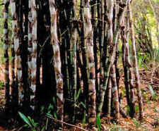 für drinnen: KALKUTTA-BAMBUS - der tolle Indoor-Bambus - wunderbar !