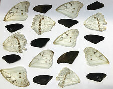20 Black and White butterfly wings (2nd's) natural death NOT KILLED..