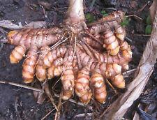 Organic Turmeric, Curcuma Longa or Haldi with Best Curcumin Value 15 Rhizomes