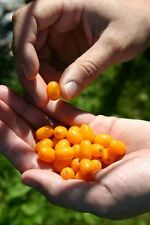 100 Graines Argousier Sea Buckthorn Hippophae rhamnoides seeds