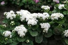 50+ White Clouds Ageratum Flower Seeds / Annual