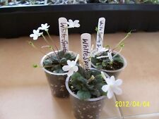 """Micro Mini Sinningia"""" White Sprite"""" Seed Pod"""