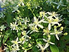 Sweet Autumn 20+ Perennial Clematis Seeds White Flowering Vine, Lightly Fragrant