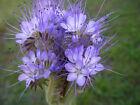 Büschelschön Bienenweide 1000 Samen - Phacelia Tanacetifolia