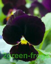 Violet Bowers Black Pansy edible 20 seeds Aussie Seller