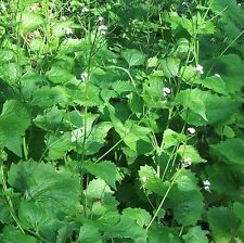 Wildflower Seeds - Garlic Mustard - 1000 Seeds