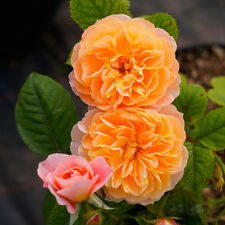 Orange Climbing Rose Seeds Rosa Multiflora Fragrant Flower Home Garden Decor