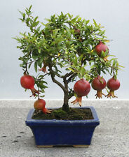 25 graines Grenadier Nain (Punica granatum nana) Dwarf Pomegranate Samen Seeds