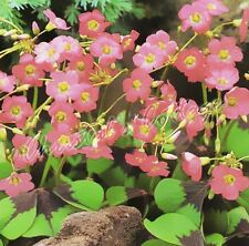 30 Iron Cross Oxalis Deppei Lucky Clover Good Luck Plant Bulbs Corms red flower