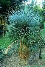 Yucca Rostrata Seeds- Rare, Dense, Evergreen, Hardy