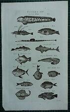 1786 PRINT ~ FISHES LUPUS MERLUCIUS OPAH ORBIS MONK FISH MEROS ACUS PEACOCK