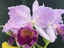 """Cattleya Dinard 'Blue Heaven' AM/AOS Mericlone Fragrant Orchid 5"""" Awesome"""