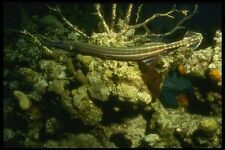 164021 Trumpet Fish Swimming Over Reef A4 Photo Print