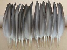 """30 Mallard Duck Wing Quill Feathers 8""""  15L 15R  - Millinery  Floats  Fletching"""