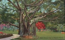 VINTAGE POSTCARD GIANT BANYAN TREE IN TROPICAL FLORIDA 1960