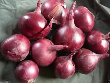 Red Burgundy  Onion (2,000 Seed  ) Organic Long Day Onion-Plant Spring-fall !
