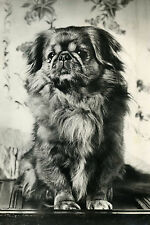 Pekingese Puppy Dog Vintage Photograph - LARGE New Blank Note Cards