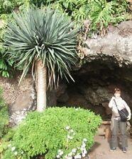 Yucca rostrata Samen/ Exotische winterharte immergrüne Pflanzen für die Terrasse