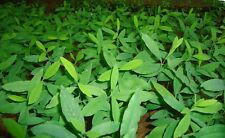 Sandalwood Tree, (Santalum album)15 Seeds Very Rare