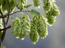 20 semi HUMULUS LUPULUS - Luppolo pianta della birra