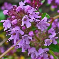 CREEPING THYME PURPLE 100 SEEDS GROUNDCOVER Lawn Drought Arid Herb Edible US
