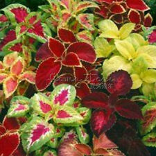 100 Rainbow Mix Coleus Flower Seeds Large Blooms in Magnificent Color Combinatio