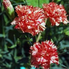 Carnation- Avrenchin-50 Seeds - 50 % off sale