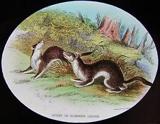 Glass Magic Lantern Slide STOAT IN SUMMER DRESS / COAT C1890 DRAWING