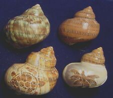 seashells for hermit crabs set of 4 turbos including carved