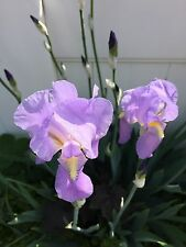 Purple Iris Beautiful Blooms Winter Hardy Tuber/+FREE PLANT  Shipped Dormant