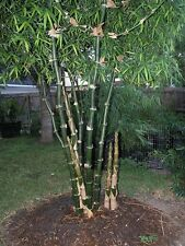 BEAUTIFUL BAMBUSA BAMBOS, 30+SEEDS, VERY RARE BAMBOO SEEDS.