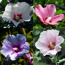 Rose of Sharon - SATIN MIX - Hibiscus Syriacus- Hardy Perennial Shrub - 25 Seeds