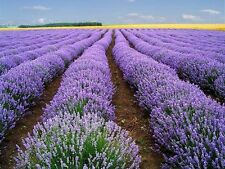 TRUE ENGLISH LAVENDER VERA Augustifolia Herb Flower 30 Seeds