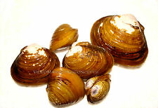 15 Live Freshwater Clam PondAquarium Filter Feeder Water Clarifier Captive Bred