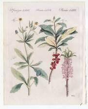 Hahnenfuß-Seidelbast-Blumen-Giftpflanzen - Bertuch-Kupferstich 1810 Pflanzen