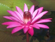 Water Lily plant x 1 Giant hot Pink Flower wholesale price aquatic ponds Dams