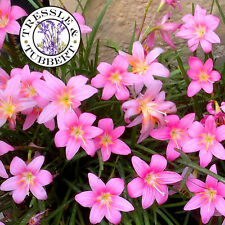Rare Pink Rain Lily Zephyranthes grandiflora -  Flower - 5 seeds - UK SELLER