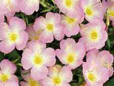 Primrose Showy Pink!! 50 Seeds ! Comb.S/H! SO EASY TO GROW!