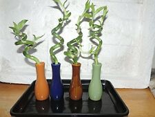 Live 4 Style Party Set of 4''spiral Lucky Bamboo Plant Arrangement w Ceramic Pot