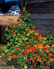 20 mix Nasturtium,Flower, Seeds , SFS-611 + Free fungicite