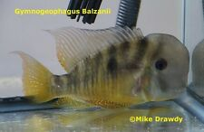 (3) Gymnogeophagus Balzanii American Eartheater Cichlids Geophagus Fish