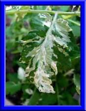 Very RARE Variegated Leaf Tomato Seeds! Great taste!  Comb. S/H See our store!